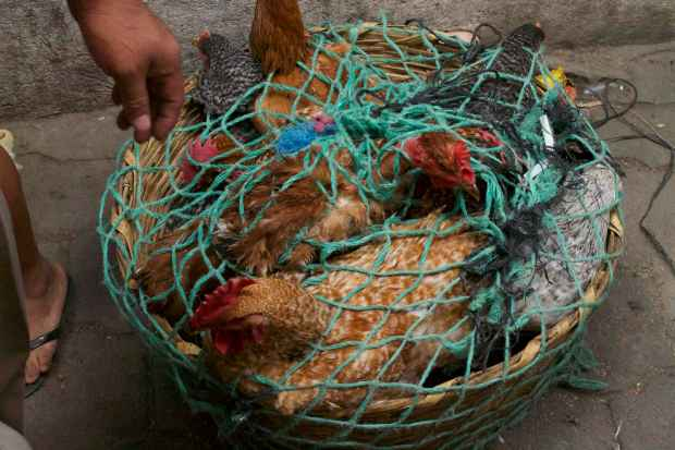 market-chickensinabasket1