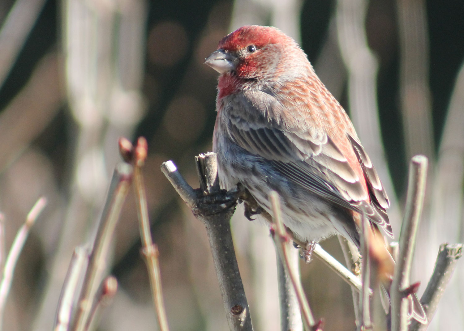 house-finch_8470